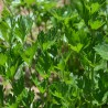 Persil 242  plantes condimentaires