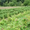 Romarin 251  plantes condimentaires