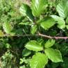 Brombeere 252  plantes à tisane
