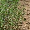 Sarriette 254  plantes condimentaires