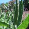 Sauge officinale 255  plantes condimentaires