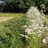 Baldrian 267  plantes à tisane