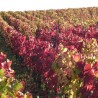 Vigne rouge 270  Tisanes & infusions