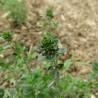 Zitronenthymian 295  plantes à tisane
