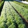 Dill 271  plantes à tisane