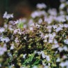 Thym montagne 262  plantes condimentaires
