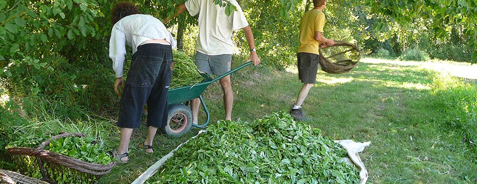 les feuilles du basilic sont séparées des tiges…