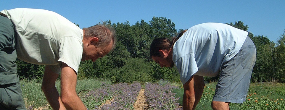 Antton et Joël cueillant la bourrache