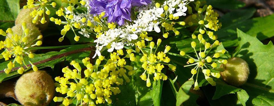 """Land art avec fleurs de fenouil, de Coriandre, de Bleuet, fruits de Tilleul, feuilles de Pissenlit : à recadrer svp pour mettre le bleuet au centre, si pas possible remplacer par """"reine des prés"""""""