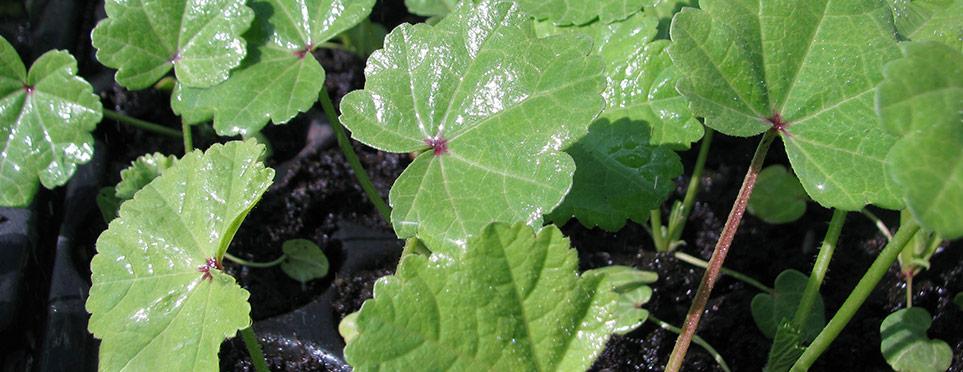 jeunes plants de mauve à la serre