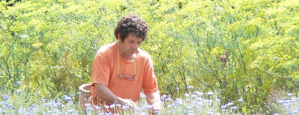 Cueillette des fleurs de bleuets, avec en fond les fenouils